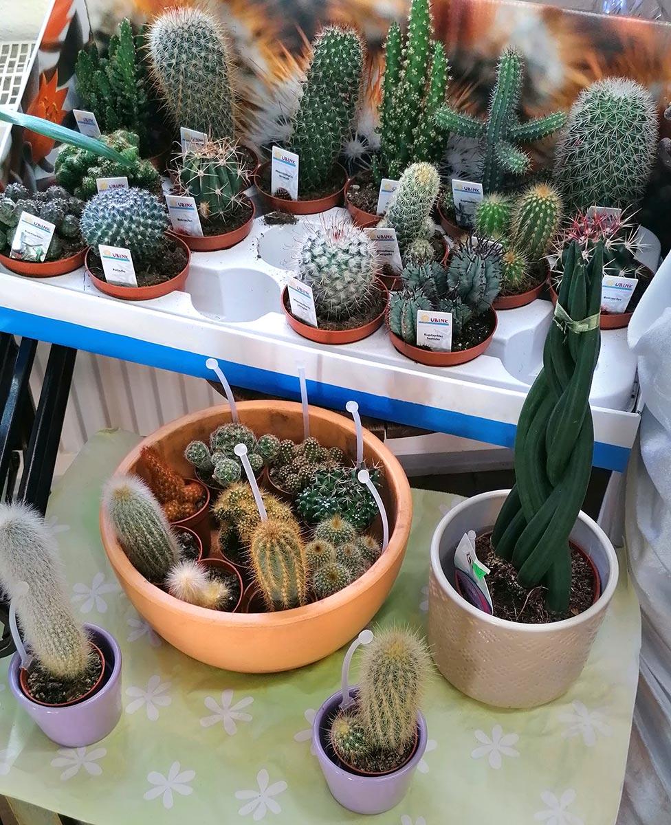 Kaktus Kakteen Potsdam